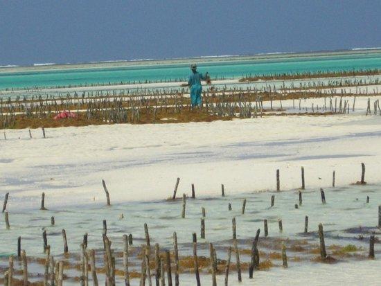 Casa Del Mar Hotel Jambiani : raccolta delle alghe