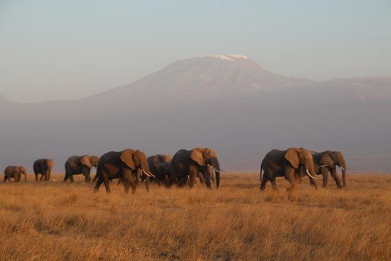 Tortilis Camp : elephants under ount kilimanjaro