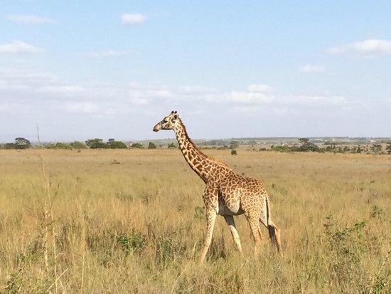 Parc national de Nairobi : Giraffes everywhere