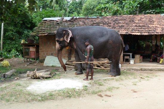 Millennium Elephant Foundation: Getting an elephant ready to be ridden