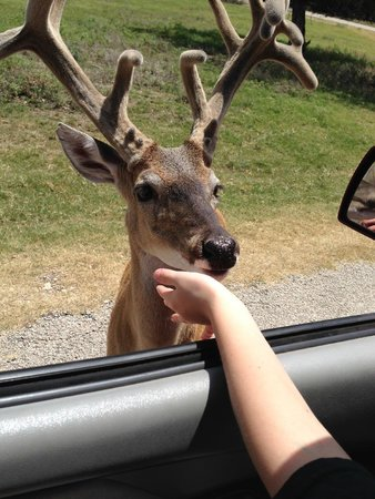 Fossil Rim Wildlife Center: Deer we fed.