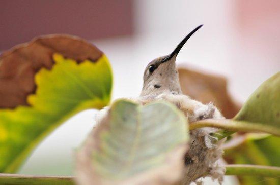 Hotel Sotomayor: Esta hembra de colibrí tuvo 2 polluelos y aprendieron a volar cuando estábamos allí