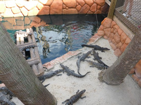 Congo River Golf: alligators to feed