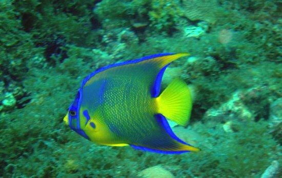 The Dive Shop Ltd.: Queen Angel Fish