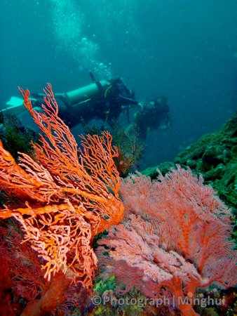 Tenggol Island Beach Resort : Gorgonian/Sea fan in Tenggol