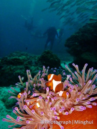 Tenggol Island Beach Resort : Clownfish looking towards the diver