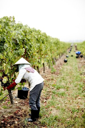 Dominique Portet Winery: Harvest with the picking team