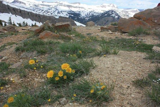Jackson Hole Aerial Tram: Wildflowers at the peak