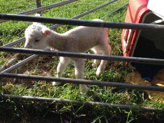 Ayr Sailean : Tuppins the lamb