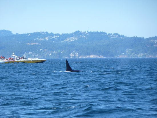 Prince of Whales Whale Watching: Orca