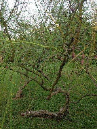 Sunrise Park Resort and Spa: интересное дерево