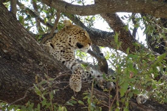 Great Plains Conservation Selinda Explorers Camp: The Leopard in the tree