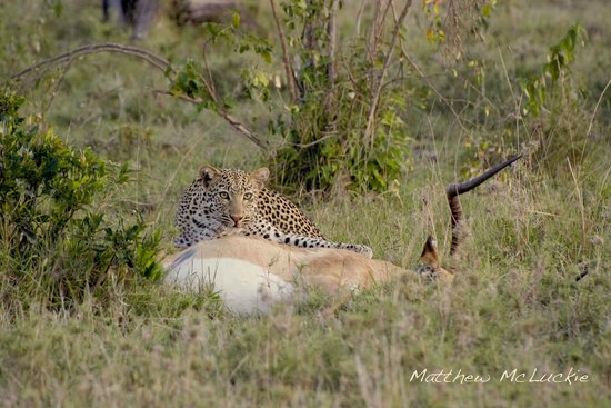 Naboisho Camp, Asilia Africa: Leopard kill 1 minute from camp
