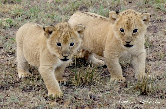 Naboisho Camp, Asilia Africa: Naughty lion cubs