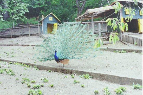Parco della Villa Pallavicino: pavoni