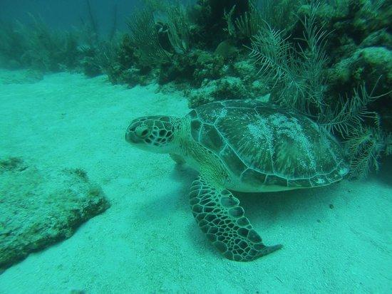 Akumal Dive Shop: Always a turtle around
