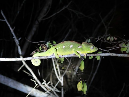 Kirindy Lodge: chameleon at night walk
