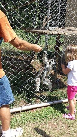 Lost Creek Safari: Feeding the ring tailed lemurs.