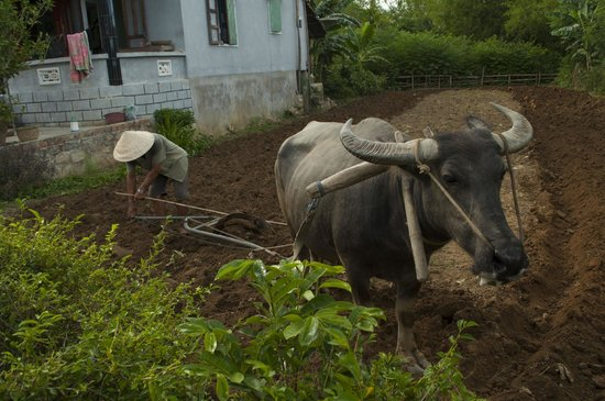 Heaven and Earth Bicycle Tours : Water buffalo