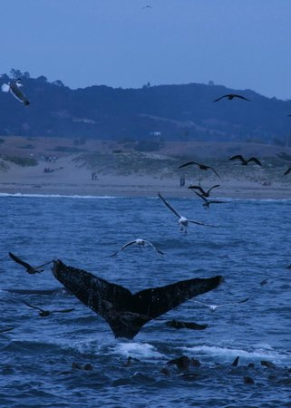 Blue Ocean Whale Watch: Humpback whale tail