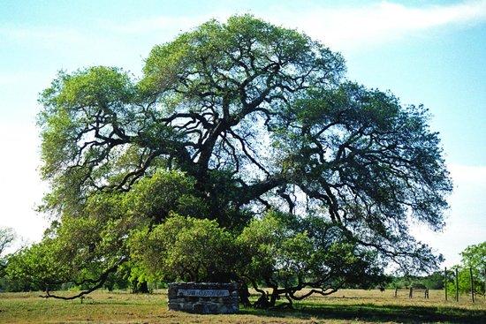 Gonzales, TX: Sam Houston Oak