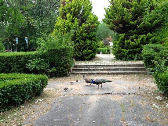 Lisbon Zoo (Jardim Zoologico de Lisboa): Família de pavões à solta