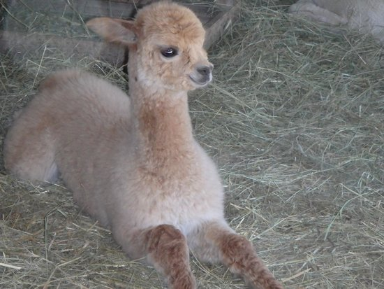 Village Farm Alpacas : baby