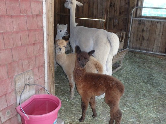 Village Farm Alpacas: babies and females