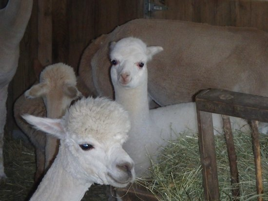 Village Farm Alpacas: females