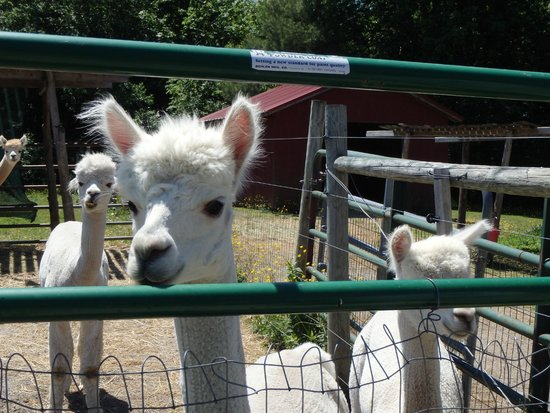 Village Farm Alpacas: males