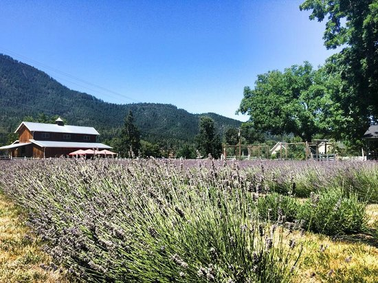 Lavender Fields Forever: A beautiful summer day in the lavender field.