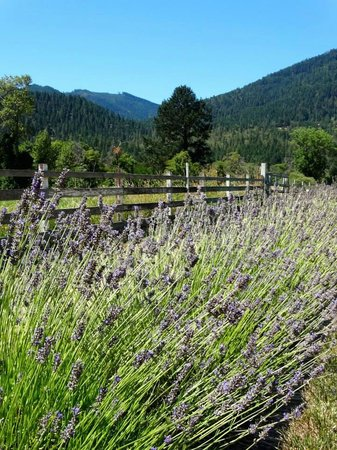 Lavender Fields Forever: A beautiful view no matter which direction you turn.