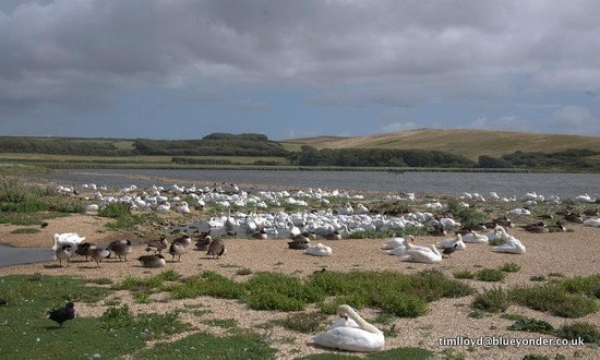 Abbotsbury Swannery: Looking out over the water