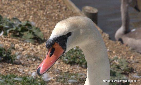 Abbotsbury Swannery: Swan poser