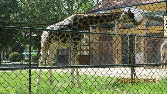 Tiergarten Schoenbrunn - Zoo Vienna: Жираф.