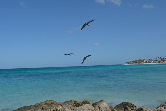 Tamarijn Aruba All Inclusive: Pelicans flying