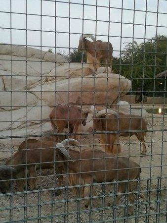 Al Ain Zoo: grazing
