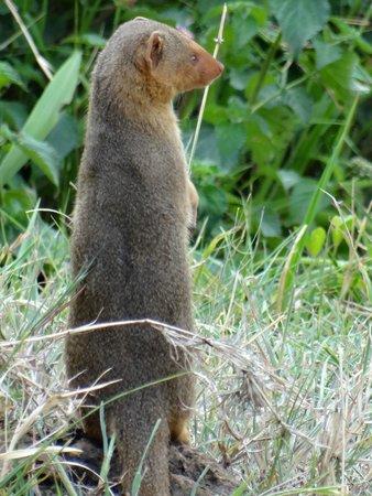 Mara Serena Safari Lodge: Dwarf mongoose