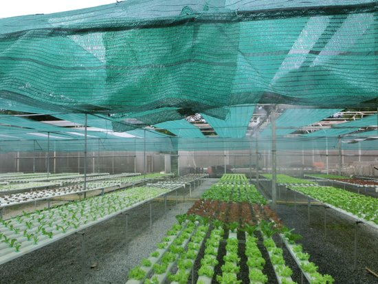VC@Suanpaak Hotel & Serviced Apartment: Hydroponics farm