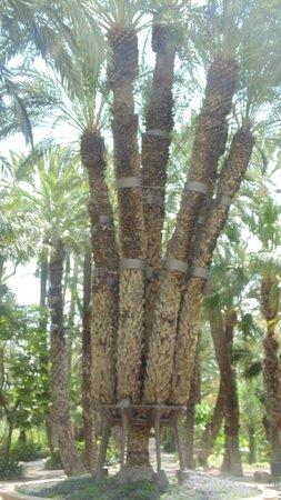 Jardín Artístico Nacional Huerto Del Cura: 7 trunked palm