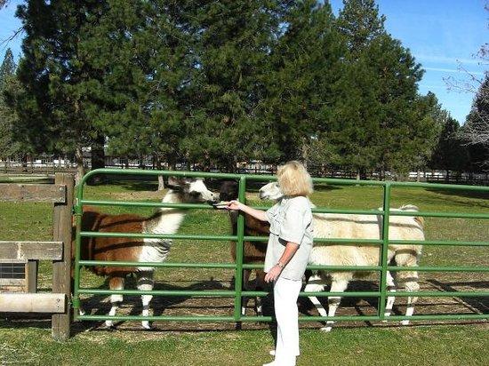 BEST WESTERN Ponderosa Lodge: Llama Heaven!