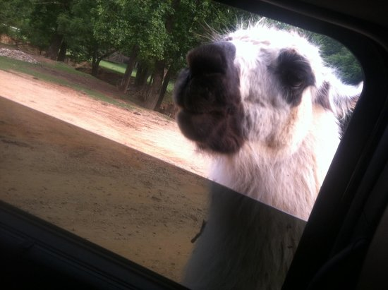 The Lazy 5 Ranch: Up close with the llama