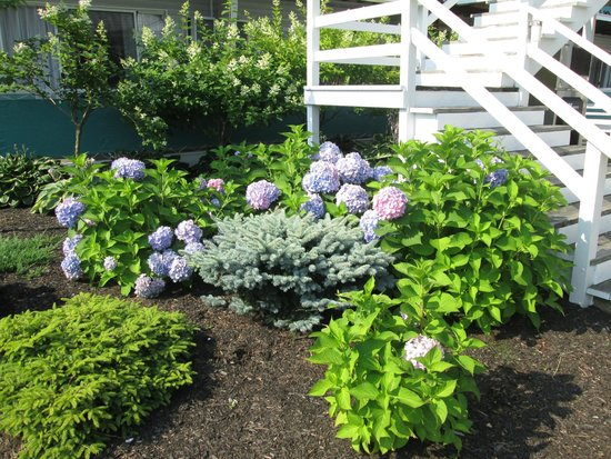 Rocktide Inn: Grounds outside our room with multi-colored hydrangeas