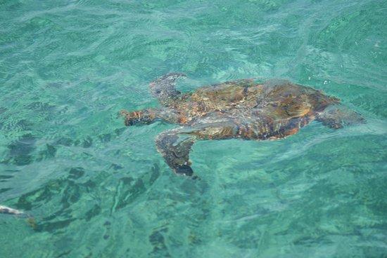 FatCat Ocean Adventures: Turtle beside catamaran