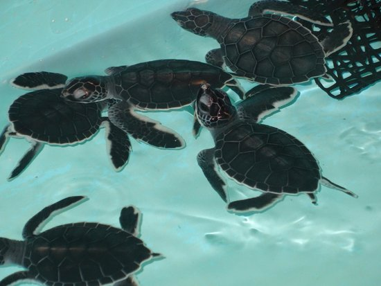 Marine Habitat at Atlantis: Young sea turtles nursery