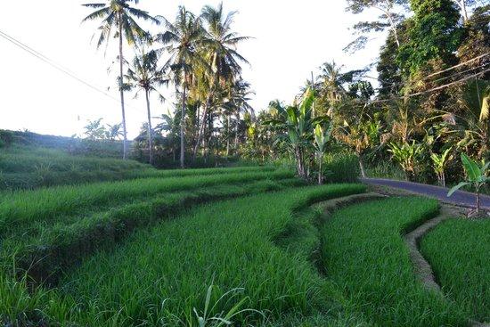 Alila Ubud: Rice paddies near the hotel