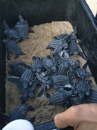 The St. Regis Bahia Beach Resort, Puerto Rico: sea turtles hatched