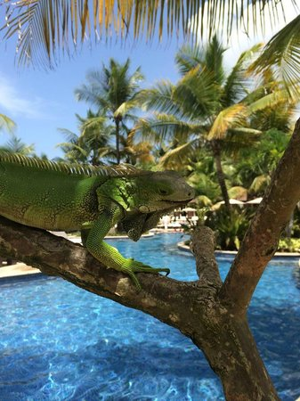 The St. Regis Bahia Beach Resort: Iguana's by the pool