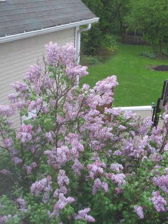 A Room in the Village Bed & Breakfast: Lilacs in Bloom
