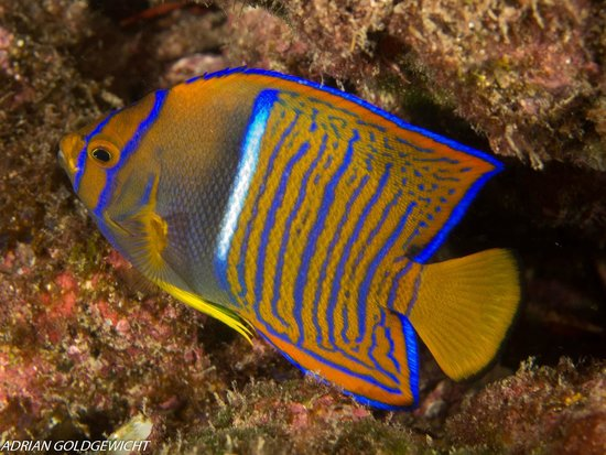 Mad About Diving: Angel fish